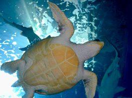 Una tortuga en el Acuario de Xixón